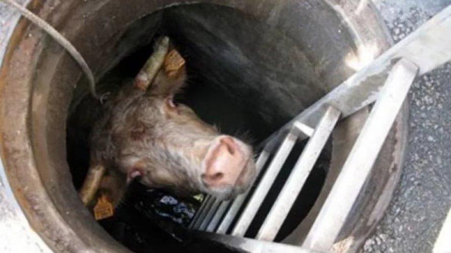 Відбулася переляком. У Кривому Розі корова впала до каналізаційного колодязя